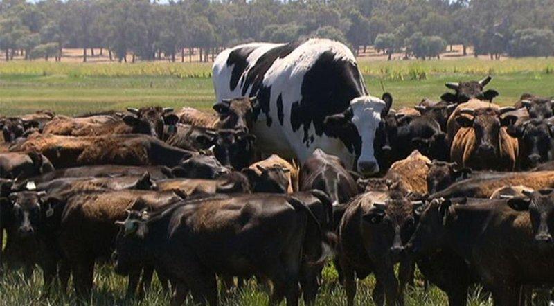 Двухметровая корова из Австралии стала звездой интернета Holstein Friesian, Myalup, Western Australia, giant, Астралия, животные, корова
