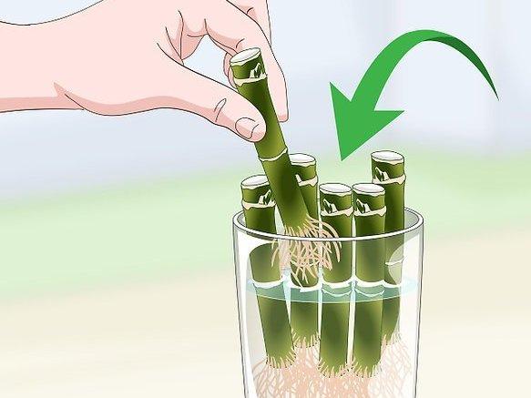 Как вырастить дома бамбук: подготовка, состав почвы, посадка и уход