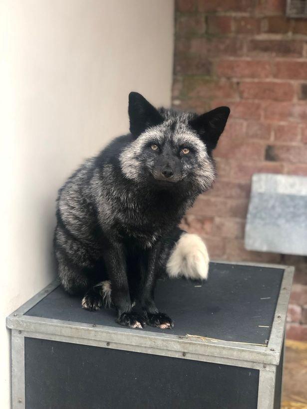 Чернобурого лиса поймали и отвезли в местный центр дикой природы в мире, животные, лиса, милота, чернобурка