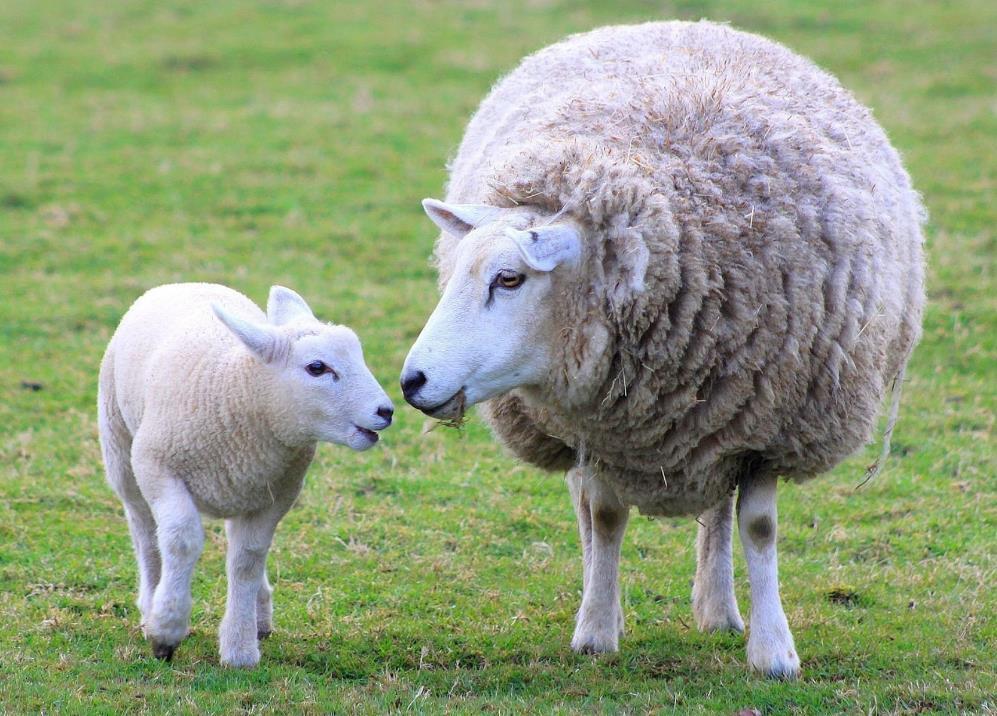 Невероятная находка: турецкий фермер увидел в ухе своей овцы рот с зубами