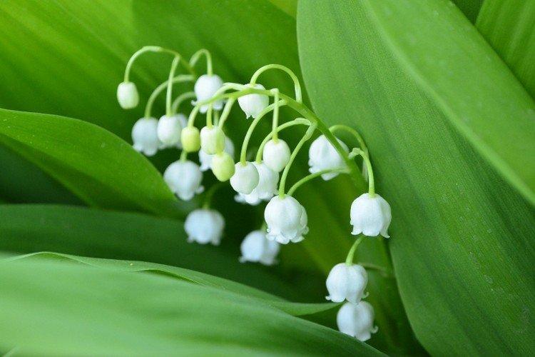 Ландыши: виды, посадка и правильный уход дача,сад и огород,цветоводство