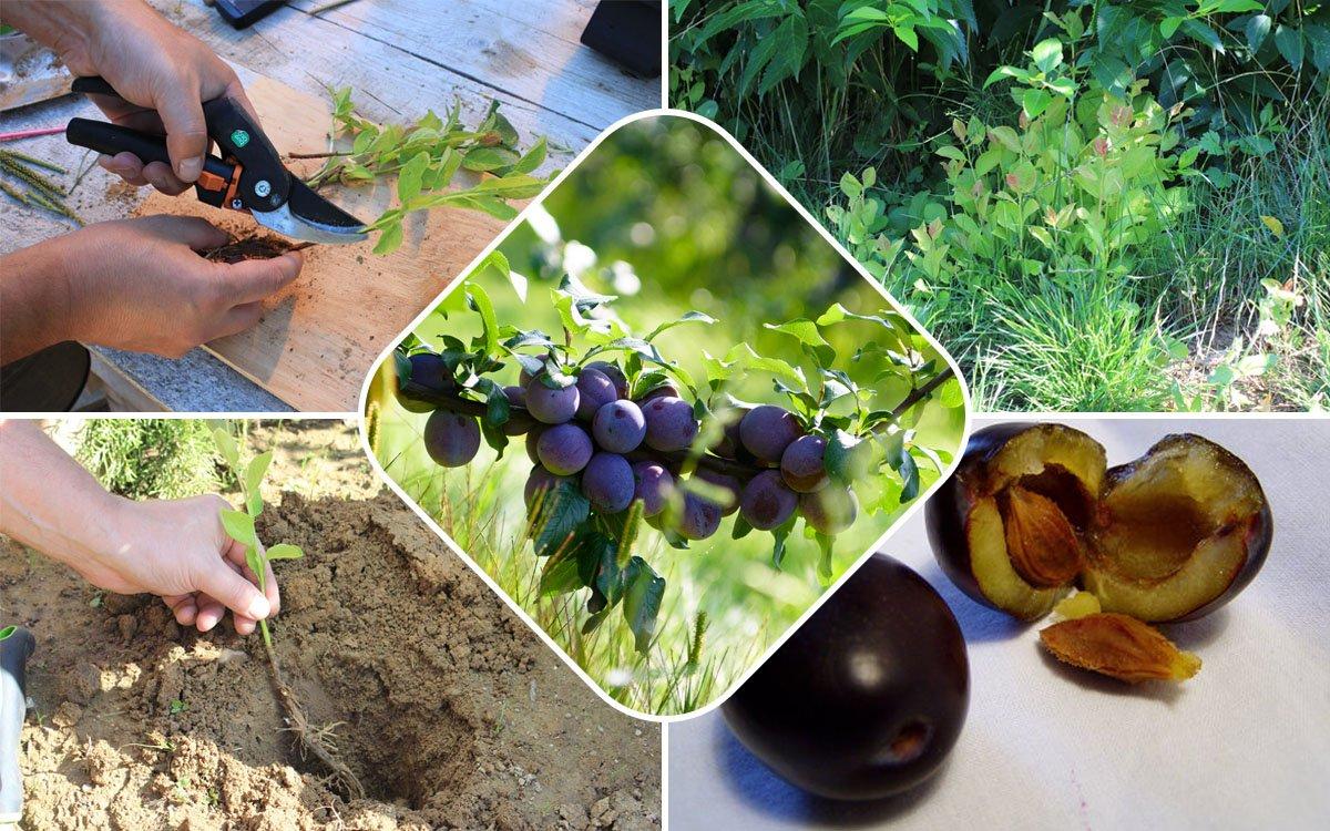 Выращивание сливы: как размножить сливу отводками, черенками и корневой порослью