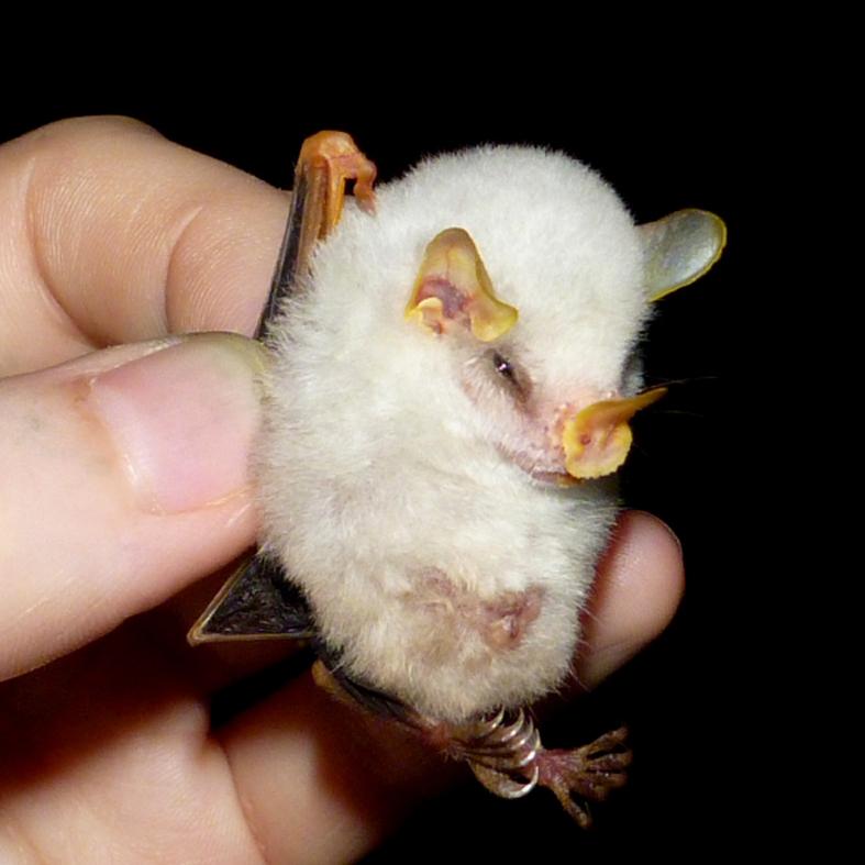 Удивительные летучие мыши: б…
