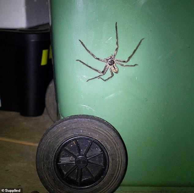 Тем временем в Австралии… Гигантский паучище заблокировал вход во двор