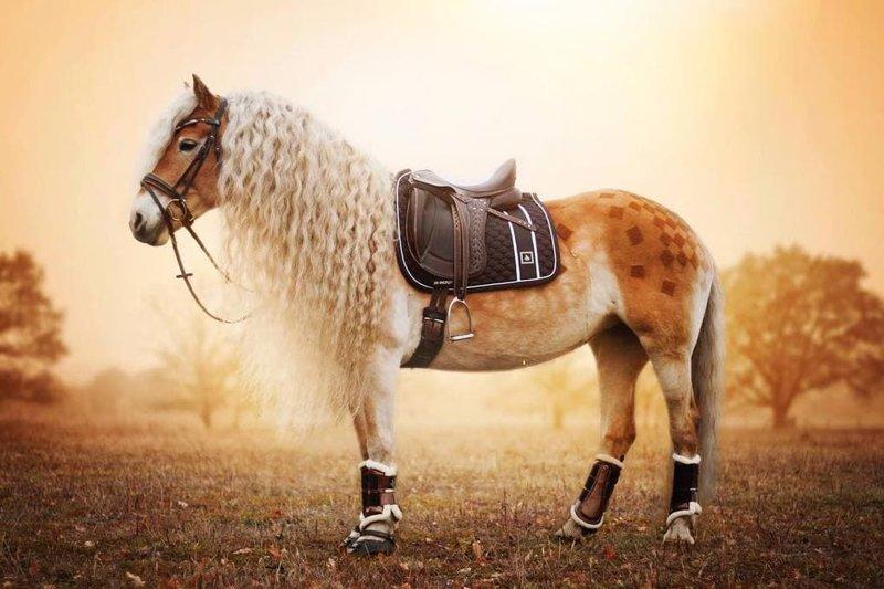 Но разве какая-то выдуманная дама может сравниться с этим великолепием? голландия, девушка, животные, красота, лошадь, фото, шевелюра