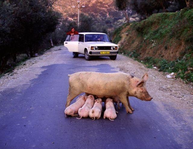 Автомобили и животные: стоп-кадр автомобили