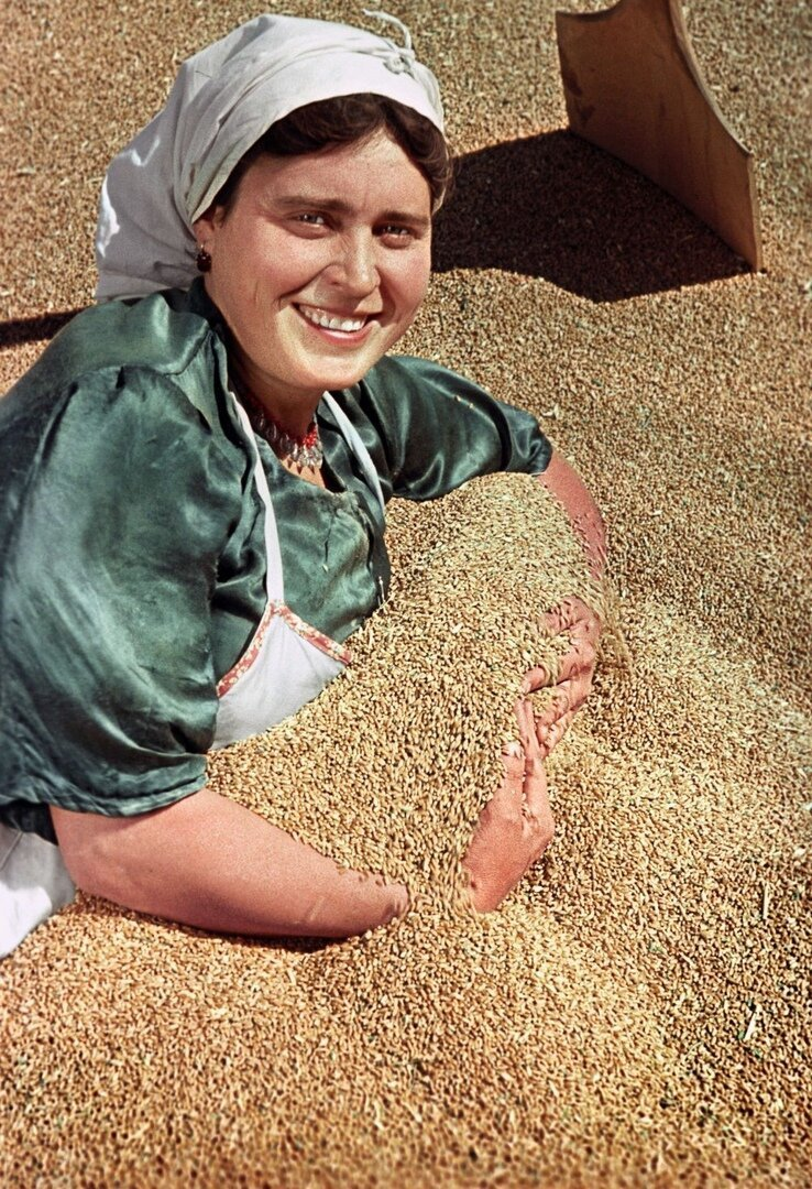 Богатый урожай пшеницы собран в этом году в колхозе имени Сталина Ново-Александровского района Ставропольского края. 1951 год СССР, фото, это интересно