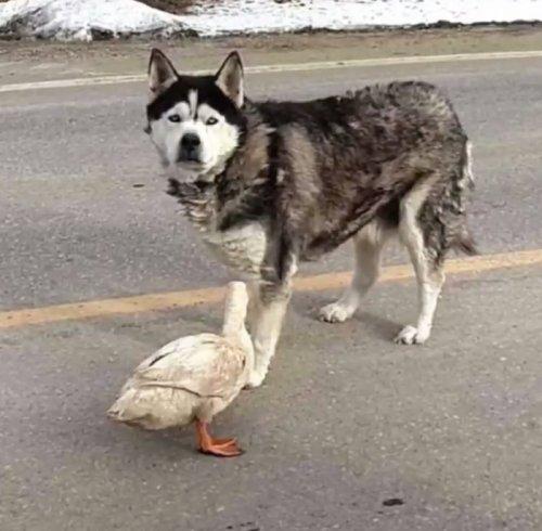 Неожиданная дружба между собакой и уткой