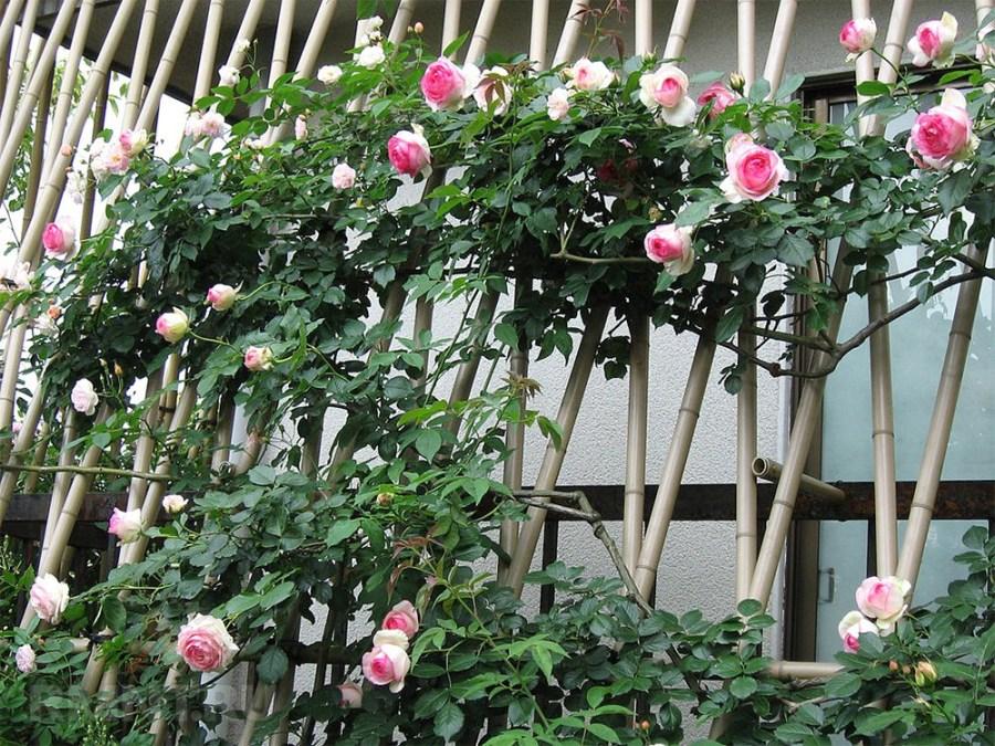 шпалерные розы фото фриске