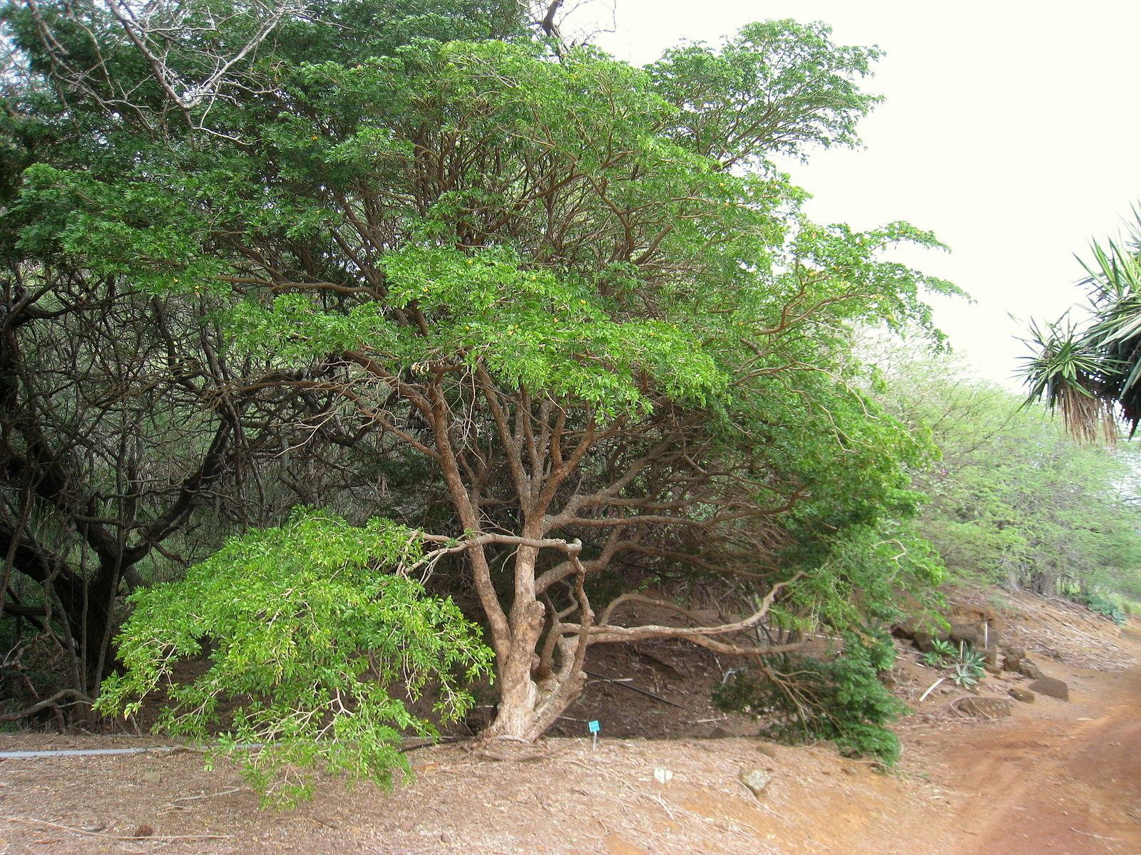 линия, гваяковое дерево фото зря его название